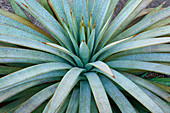 Mangave (Agave 'Man of Steel') plant