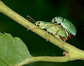 Nettle weevils mating