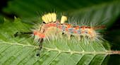 Vapourer moth larva