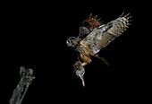 Eurasian eagle-owl with prey
