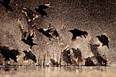 Spotless starling group