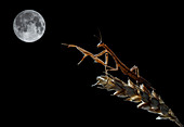 European mantis and moon