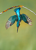 Common kingfisher diving