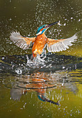 Common kingfisher emerges from water