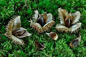 Beech nuts (Fagus sylvatica)