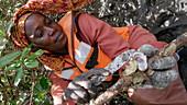 Harvesting mangrove oysters