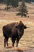 Bison in grassland, Wind Cave National Park, USA