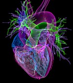 Healthy heart, 3D CT scan
