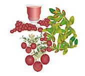 Cranberries (Vaccinium oxycoccos), illustration