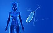Female gallbladder, illustration