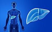 Male liver, illustration