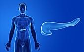 Male pancreas, illustration
