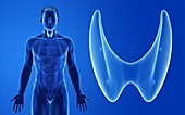 Male thyroid gland, illustration