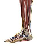 Anatomy of the foot, illustration