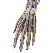 Anatomy of the hand, illustration