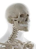 Anatomy of the skull, illustration