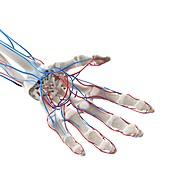 Blood vessels of the hand, illustration