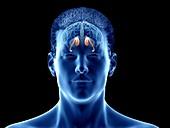 Caudate nucleus of the brain, illustration