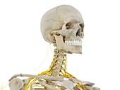 Head and neck nerves, illustration