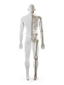 Human skeleton, illustration