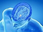 Hypothalamus of the brain, illustration