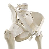 Ligaments of the hip, illustration