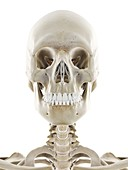 Skeletal head, illustration