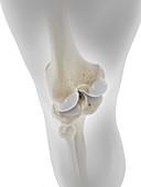 Skeletal knee, illustration