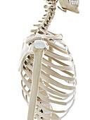 Skeletal shoulder, illustration