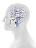 Vascular system of the human head and brain, illustration