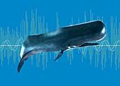 Sperm whale, illustration