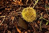 Sweet chestnut