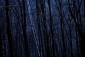 Silver birch (Betula pendula) trees