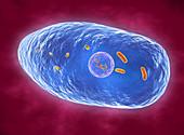 Bordetella pertussis bacteria, illustration