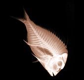 Fish, X-ray