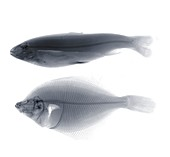 Two fish, X-ray
