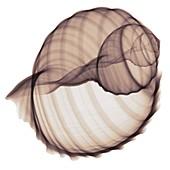 Shell, X-ray
