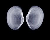 Shells, X-ray