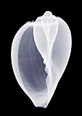 Whelk shell, X-ray