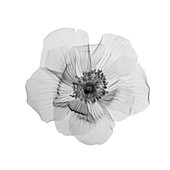 Flower in bloom, X-ray