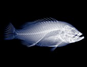 Red snapper, X-ray