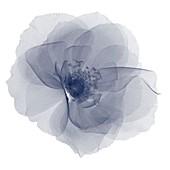 Gardenia head from above, X-ray