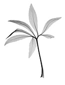 Christmas rose (Helleborus sp.), X-ray