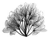 Azalea (Rhododendron sp.), X-ray