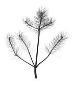 Pine (Pinus sp.), X-ray