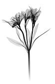 Alstroemeria, X-ray