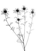 Carthamus plant, X-ray