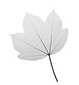 Maple (Acer sp.), X-ray