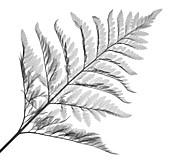 Fern (Davallia mariesii), X-ray