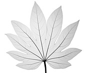 Paper plant (Fatsia japonica), X-ray